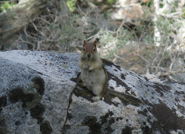 Sierra Squirrel