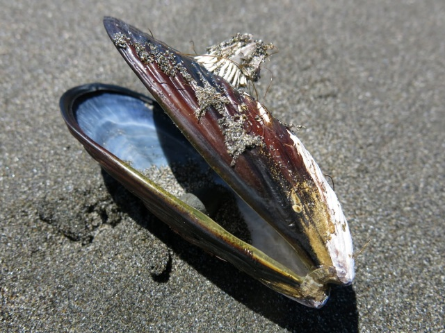 Barnacle and Mussel Shell