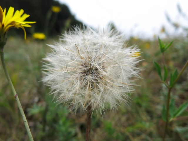 Oregon Coast Dandelion