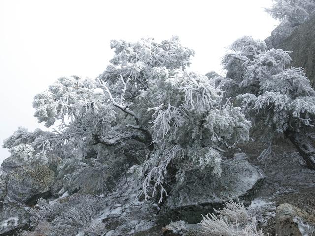 Frozen Trees on Morris Peak
