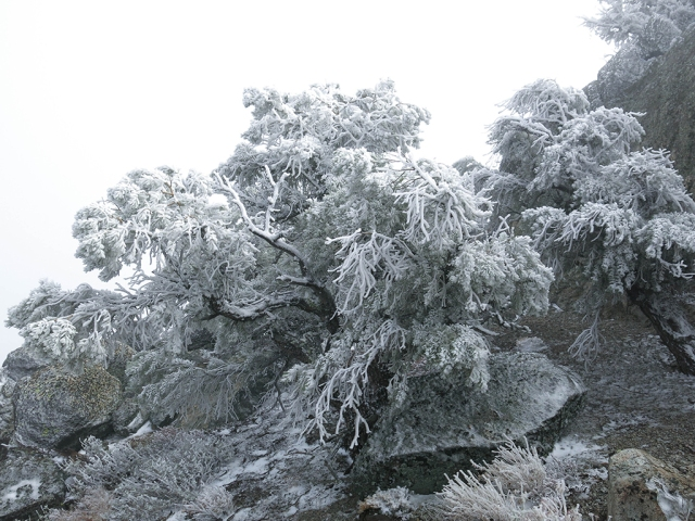 Frozen Trees on Morris Peak