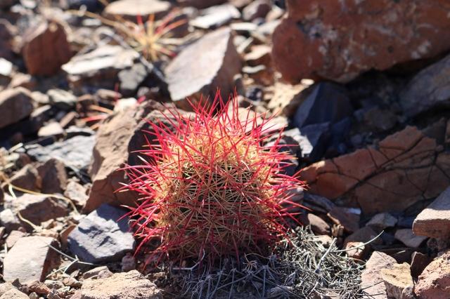 Baby Barrel Cactus