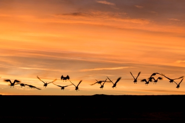 c583c-snowgeese-in-flight
