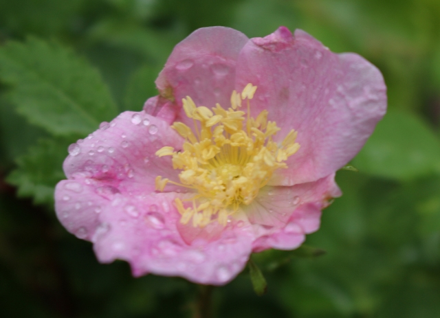 Wild Rose and Raindrops