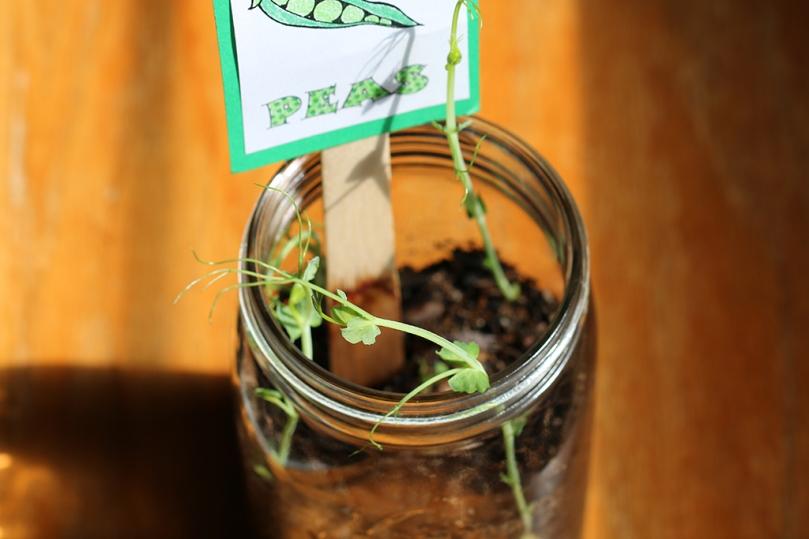 pea-seedlings